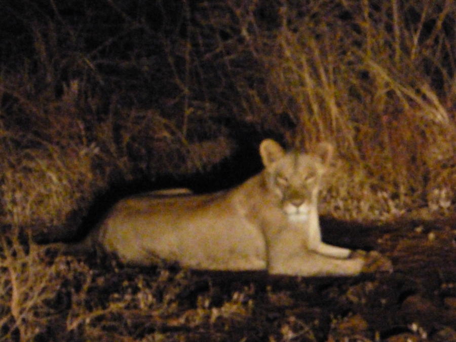 night vision photo of lioness